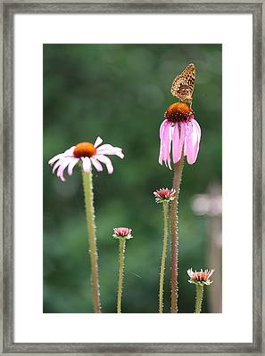 Coneflowers And Butterfly Framed Print