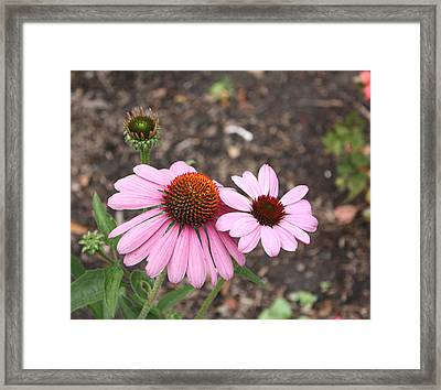 Coneflowers Nb Framed Print by Susan Alvaro