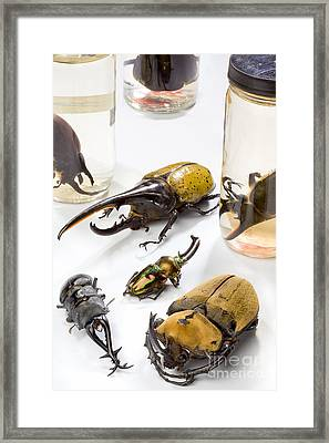 Confiscated Beetles Framed Print by Science Source