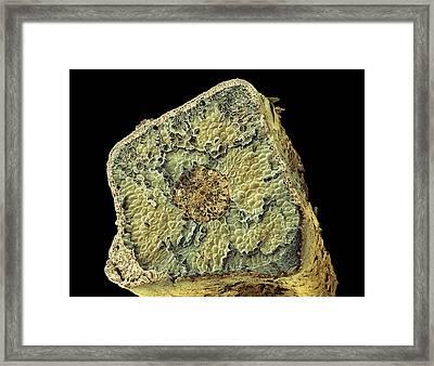Conifer Needle, Sem Framed Print by Steve Gschmeissner