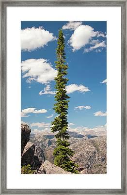 Conifer Tree White Clouds Blue Sky Framed Print