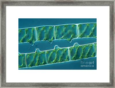Conjugation In Algae, 1 Of 4 Framed Print