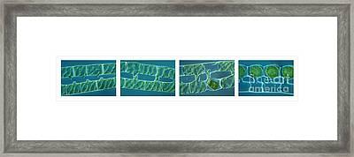 Conjugation In Algae Framed Print by M. I. Walker