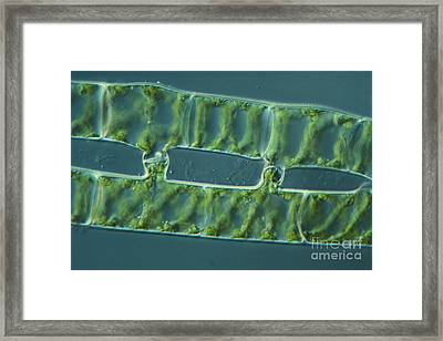Conjugation In Spirogyra Algae, Lm 2 Framed Print by M. I. Walker