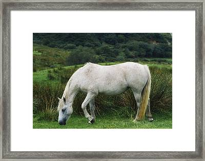 Connemara Pony Framed Print by The Irish Image Collection
