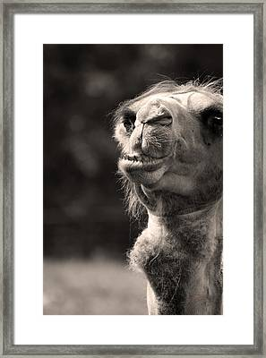 Connoisseur Of Fine Humps Framed Print by Barbara  White