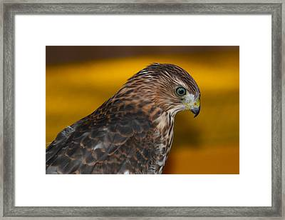 Coopers Gold Framed Print