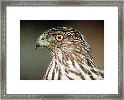 Framed Print featuring the photograph Cooper's Hawk by Doug Herr