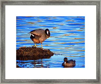 Coots Framed Print by Catherine Natalia  Roche