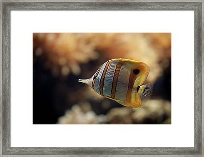 Copperband Butterflyfish Framed Print by Stavros Markopoulos