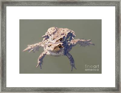 Copulation Of The Frogs Framed Print