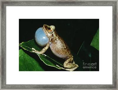 Coqui Croaking Framed Print