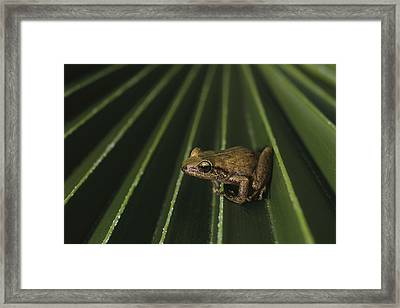 Coqui Frogs Invaded The Hawaiian Framed Print