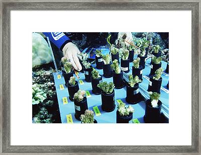 Coral Bleaching Research Framed Print