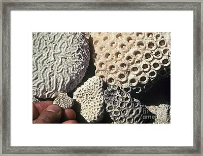 Coral Cobbles On Beach Of Bonaire Framed Print by Greg Dimijian