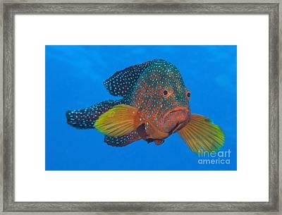 Coral Grouper, Kimbe Bay, Papua New Framed Print