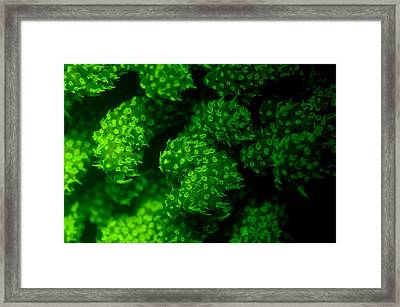 Coral Polyps Fluorescing Green Framed Print by Louise Murray
