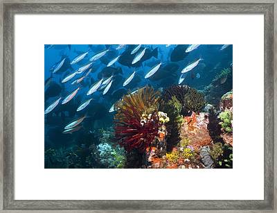 Coral Reef, Indonesia Framed Print
