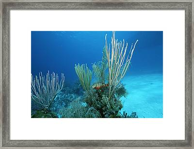 Coral Reef Scene Off The Coast Of Grand Framed Print by Wolcott Henry