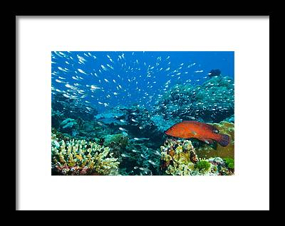 Peacock Grouper Framed Prints