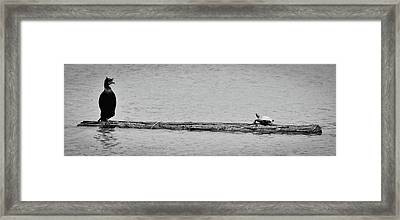 Cormorant And Turtle Framed Print by Kevin Munro