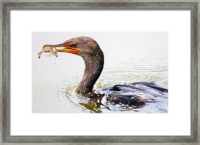 Cormorant Catching A Shrimp Framed Print by Paulette Thomas
