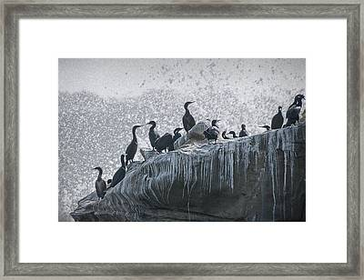 Cormorant Seabirds At Lajolla Framed Print by Randall Nyhof