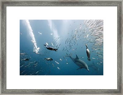 Cormorants Hunting With Dolphins Framed Print