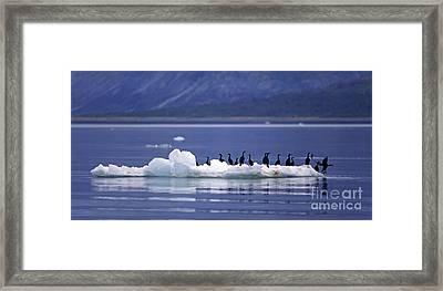 Framed Print featuring the photograph Cormorants On Ice Floe - Glacier Bay Alaska by Craig Lovell