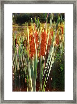 Corn Dogs Growing By The Pond Framed Print by Heinz G Mielke