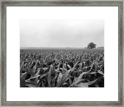 Corn Flakes On The Stem Framed Print by Jan W Faul