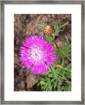 Corn Flower Framed Print