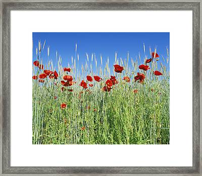 Corn Poppies (papaver Rhoeas) Framed Print by Bjorn Svensson