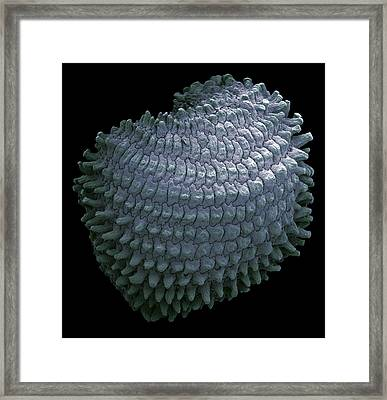 Corncockle Seed, Sem Framed Print by Steve Gschmeissner