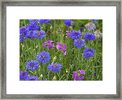Cornflower And Pointed Phlox Framed Print by Tim Fitzharris