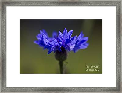 Cornflower Blue Framed Print by Clare Bambers