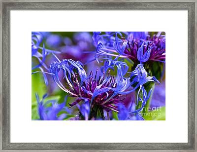 Cornflower Color Framed Print by Byron Varvarigos