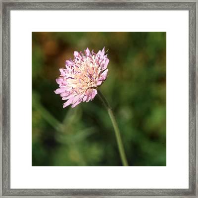 Cornflower Cyanus Segatum Framed Print by Paul Cowan
