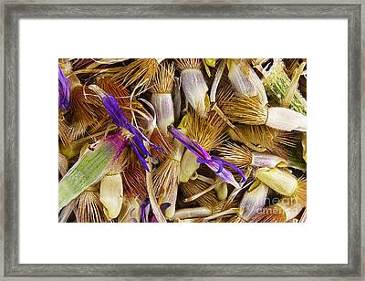 Cornflower Seeds Framed Print by M I Walker