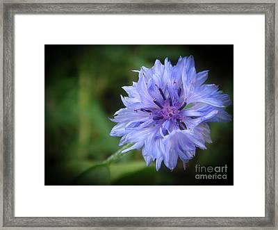 Cornflower Framed Print by Yvonne Johnstone