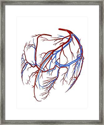 Coronary Vessels Of The Heart Framed Print by Pasieka