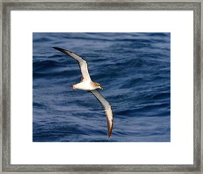 Cory's Shearwater Framed Print by Tony Beck
