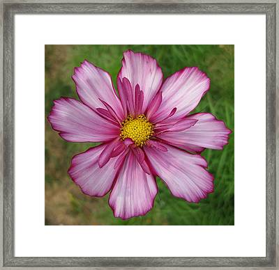 Framed Print featuring the photograph Cosmic Cosmo by Judy Via-Wolff
