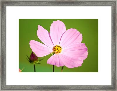 Cosmos And Bud Framed Print