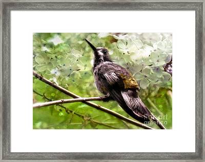 Costa Rican Hummingbird  Framed Print by Elaine Manley