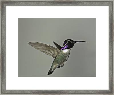 Framed Print featuring the photograph Costas Hummingbird by Gregory Scott