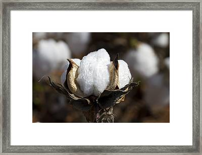 Cotton Bolls Springing Forth Framed Print by Kathy Clark