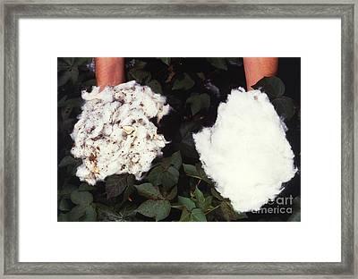 Cotton Comparison Framed Print by Photo Researchers