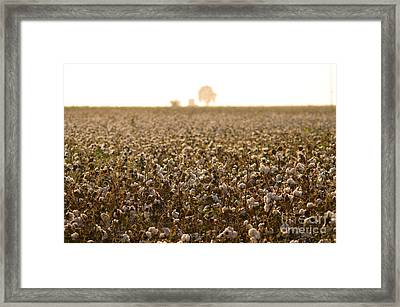 Cotton Field Donana Spain Framed Print by Perry Van Munster