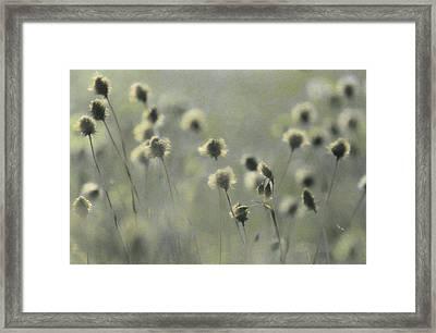 Cotton Grass, Eriophorum Species, Nods Framed Print